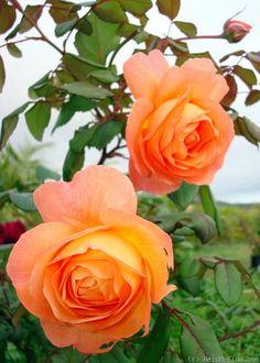 Photo of the rose 'Lady Emma Hamilton' Flowers Nature, Pretty Flowers, Rose Care, Rose Of Sharon, David Austin Roses, Rose Photos, Orange Roses, Love Rose, Beautiful Roses