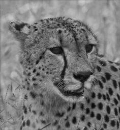 Cheetah - Kruger National Park