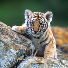 Tiger goes exploring.