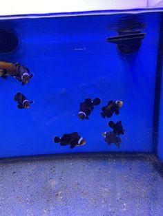 1 Beautiful Pair Extreme Misbar Black Ocellaris Clown Imported From Indonesia. Marine Aquarium Fish, Live Aquarium Fish, Marine Fish, Saltwater Aquarium, Saltwater Fishing, Fish For Sale, Fish Stock, Clownfish, Live Fish