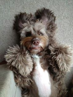 Love this. Tibetan Terriers are so cheery and flop-down cuddly!