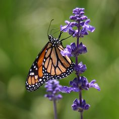 The Monarch butterfly. Here's how one Florida gardener got a LOT of them...