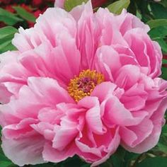 Tree Peonies - Yaezakura The Emperor's Tree Peony