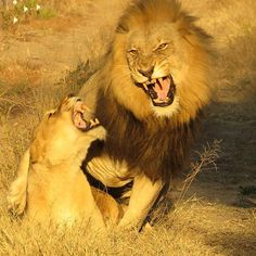 A stunning sighting of mating lions for the Askari team at the weekend