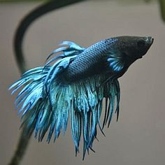 1000 images about betta fish fin rot on pinterest betta for What kind of fish can live with a betta