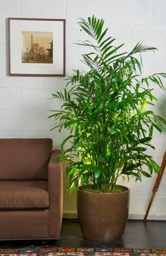 Bamboo Palm Clean Air Plant Purifier A Nice Medium Sized One Would Look Indoor Plantsindoor