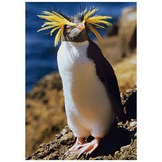 Our cool Rockhopper Penguin card is blank on the inside, but full of penguin personality on the inside. It measures five by seven inches and displays a bold Rockhopper penguin in an photo taken by Rin