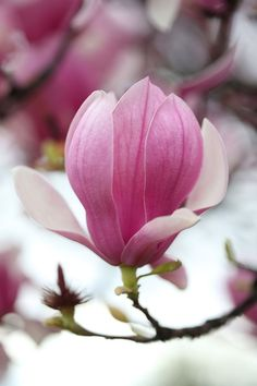 Magnolia flower in the spring.