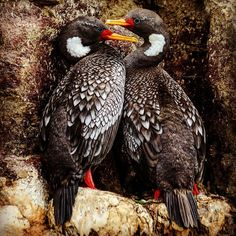A nesting pair of red-legged #cormorants spotted near Puerto Deseado #Argentina.