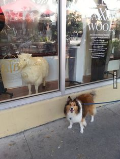"""This dog kept barking at the sheep mannequin in the store window"" that's why it's a Shetland SHEEPdog"
