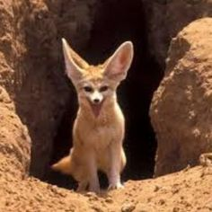 Fennec Fox, Foxes, Kangaroo, Animals, Baby Bjorn, Animales, Animaux, Animal, Fox