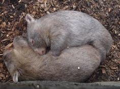 Wombats @ Australian Reptile Park - Sydney - by Vanessa M