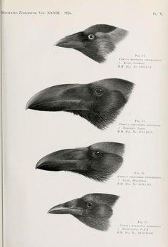 Novitates Zoologicae, Vol 33, 1926.