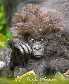 The hairstyle on this baby gorilla is too much.