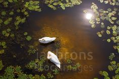 Two swans with sun reflection on shallow water. This has been a real challenge to take this photo of these swans as I had to find a high point to shoot downwards. Look carefully and you can see the fish swimming.