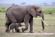 Wildlife Gallery Endangered Elephants, Rhinos, African Elephant, Wild Life, Baby Animals, Creatures, Gallery, Board, Cute