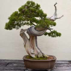 A VISIT WITH A 389 YEAR OLD BONSAI