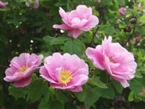 ROSA BLANDA-RYHMÄ 'TARJA HALONEN' tarjanruusu Terve ja roteva, heinäkuussa saman kesän versoilla kukkiva pensas. Kukat ovat vaaleanliilanpunaiset, 7–10 cm leveät, heikosti kerrannaiset, mietotuoksuiset. Kukinta kestää pari viikkoa heinäkuun alussa. Runsaasti oranssinpunaisia, isohkoja kiulukoita. Lehdet ovat vaaleanvihreät, hieman ryppyiset. Versot kaartuvat kärjistään ja ovat nuorina punaruskeita ja vähäpiikkisiä. Juurivesoja kasvaa niukas.  Käyttö: yksittäin, ryhmissä, aidanteena ja…