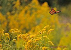 Monarch in flight | Flickr - Photo Sharing!