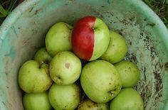 bicolor apple