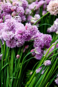 Chive blossoms at the Union Square Greenmarket | Flickr - Photo Sharing!