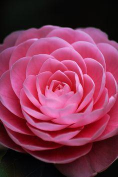Camellia by Mits Kurano