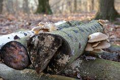Growing Mushrooms Using The Log Inoculation Method - http://www.ecosnippets.com/gardening/growing-mushrooms-using-the-log-inoculation-method/