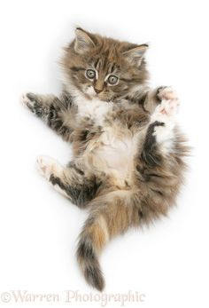 Photograph of Maine Coon kitten, 7 weeks old, lying on its back, looking up in a playful manner. Rights managed white background image. Whiskers On Kittens, Cats And Kittens, Kitten Photos, Persian Kittens, Maine Coon Kittens, White Background Images, This Is Us, Kitty, Animals