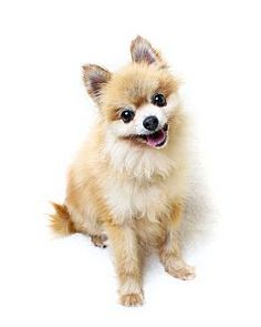 Wilmington, DE - Pomeranian Mix. Meet Cisco, a dog for adoption. http://www.adoptapet.com/pet/13769173-wilmington-delaware-pomeranian-mix