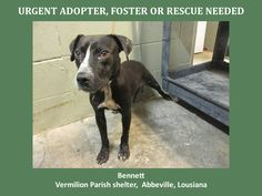 ***SUPER URGENT!!!*** - PLEASE SAVE ME!! - EU DATE: 8/6/2014 -- bennett  Breed: Pit Bull Terrier  Age: Adult Gender: Male  Size: Large, -  If you have any questions please contact us at animalaidvermilion@gmail.com or (337) 366-0212 or visit our website animalaidvermilionarea.com for more information