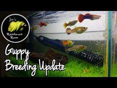 Guppy Breeding Setup & New Animal Reveal!!!! - YouTube