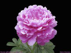 Syringa Vulgaris, Herbaceous Perennials, Pink Peonies, Beautiful Flowers, Roots, Cactus, Bloom, Hydrangeas, Amazing Nature