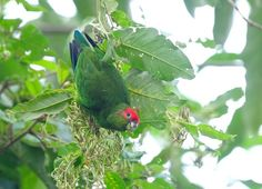 MalePhoto by LuizItatiaia National Park, Ipe Hotel, Brazil, August 2008, Pileated Parrot