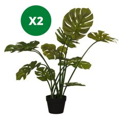 Homesavers | Artificial Cheese Plants (Pack of 2) Cheese Plant, Special Gifts, Plant Leaves, New Homes, Plants, Color, Furniture, Home Decor, Style