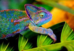 Color Crazy Chameleon. Wow!