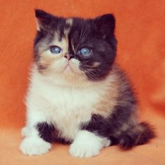 Don't you want to see this photo of blue-eyed baby Pudge again? Of course you do, it's =💙ㅅ💙= Cute Kittens, Cats And Kittens, I Love Cats, Crazy Cats, Baby Animals, Cute Animals, Cat Crying, Exotic Shorthair, British Shorthair