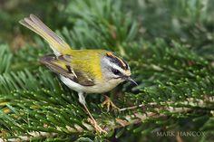 Goldcrest and Firecrest - Mark Hancox Bird Photography