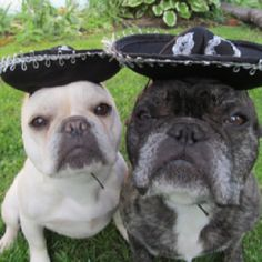 Cinco de mayo, ole'. French Bulldogs in Sombreros.