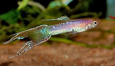 Double Swordtail Endler Cross Guppy  Swordtail Guppies are bred with single or double sword tails. They are relatively long lived compared to Delta Tailed guppies.  The ideal show fish has only the sword portion of the tail colored with a 5 to 1 proportioned dorsal.
