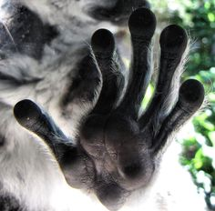 A lemur's hand :) (On a side note, they are really really soft :D )