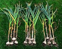Growing garlic in the garden ohioline how to grow garlic at home how to grow garlic now s the time. Organic Garlic, Grow Organic, Large Plants, All Plants, Harvesting Garlic, Veg Garden, Vegetable Gardening, Garden Tips, Garden Ideas