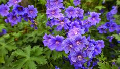 Big Root Geranium is a spring blooming perennial. Cranesbill Geranium, Geranium Plant, Phlox Plant, Spring Months, Herbaceous Perennials, And July, Fall Plants, Lilac Flowers, Plant Needs