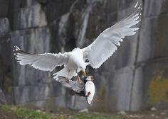 Animal Behaviour Category Winner: Herring Gull Plucking Puffin from the Ground. Inner Farne, Northumberland, England