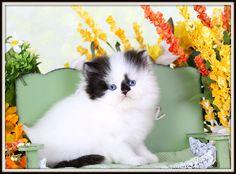 High White Black & White Persian Kitten