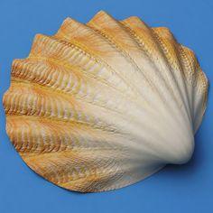 Seashells_Collection_V3_50.jpg955b2991-dfda-477f-8c35-77607d7f2784Larger.jpg (600×600)