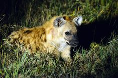 Spotted Hyena, image taken on a guided night drive at Umkumbe Lodge in Sabi Sands Lion Images, Night Photography, Wildlife Photography, Kruger National Park, National Parks, Milky Way Images, Buffalo Bulls, Male Lion