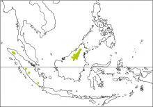 Sunda Laughingthrush (Garrulax palliatus)
