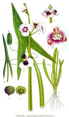 sagittaria (wetland plants)