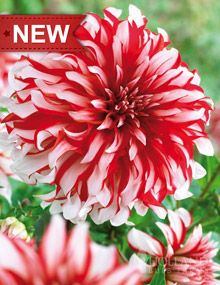 """Dinnerplate Dahlia:  Height: 36-48""""  Bulb Size: No. 1  Deer Resistant: Yes  Perennializing: Yes  Cutflower: Yes  Hardiness Zone: 8 - 11  Suitable Zone: 3 - 10  Planting Time: Spring  Planting Depths: 2-3""""  Planting Spacing: 18-24"""""""