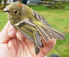 The Ruby Crowned Kinglet, captured and banded on Skiff Mountain for the first time by dedicated ornithologists Laurie Doss, Cleo Conk '15, Josh Fusaro '17 and Simon Winter '17